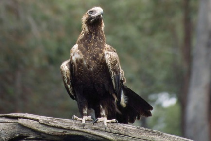 Wedge-Tailed Eagle.