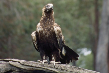 Wedge-Tailed Eagle.