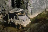 Western Painted Turtle.