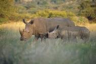 White Rhinos.
