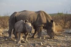 White Rhinos2.