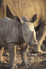 White Rhinos3.