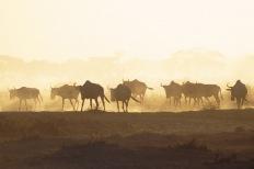 Wildebeests.