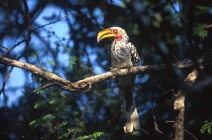 Yellow-Billed Hornbill1