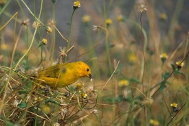 Yellow Bird.Hawaii