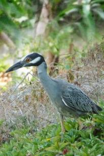 Yellow-Crowned Night Heron.