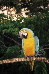 YellowBlue Macaw.