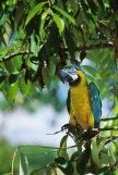 YellowBlue Macaw2.
