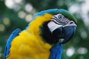 YellowBlue Macaw3.