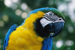 YellowBlue Macaw3.