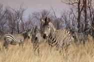 Zebras10.