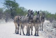 Zebras11.
