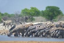 Zebras2.
