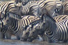 Zebras3.