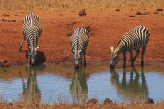 Zebras4.