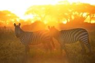 Zebras6.