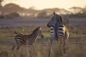 Zebras7.