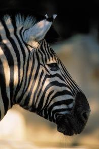 Zebras8.