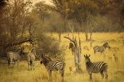 Zebras9.