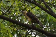 Hawk.2