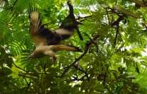 Hawk.3