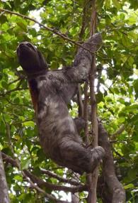 Sloth.14
