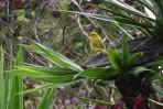 YellowBird.1