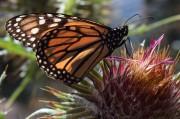 Monarchs.49