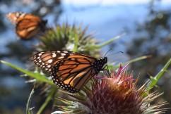 Monarchs.54